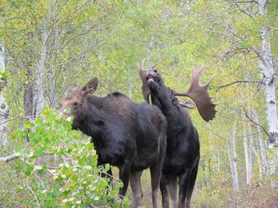 Mating Moose