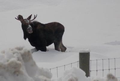 Yearly Bull Moose