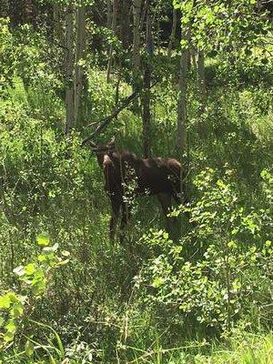 Young Moose in Colorado