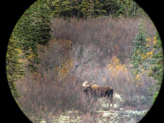 Big Yukon Moose