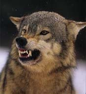The Snarling Wolf - picture posted by AAM