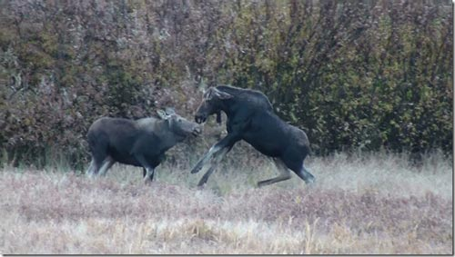 Young bull plays with a cow moose